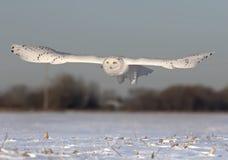 男性斯诺伊猫头鹰腹股沟淋巴肿块scandiacus在渥太华,加拿大降低在一个开放晴朗的多雪的玉米田的狩猎 库存图片