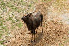 男性林羚站立 免版税图库摄影