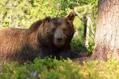 男性棕熊休息 库存图片