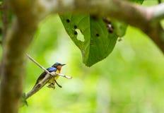 男性棕色红喉刺莺的sunbird 免版税库存图片