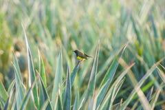 男性橄榄色的黑sunbird 免版税库存照片