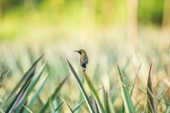 男性橄榄色的黑sunbird 免版税库存图片