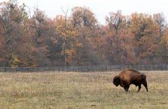 男性欧洲北美野牛步行在被保护的封入物 免版税库存图片