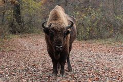 男性欧洲北美野牛,在秋天森林里 库存照片