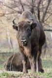 男性欧洲北美野牛(北美野牛bonasus) 免版税库存照片