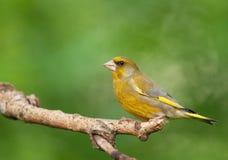 男性欧洲greenfinch (虎尾草属虎尾草属) 库存照片