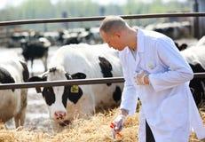 男性母牛兽医在农厂作为分析 免版税库存照片