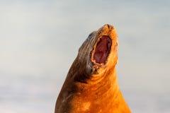男性海狮封印,当咆哮时 免版税图库摄影