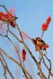 男性犍子` s奥廖拉诺在一棵开花的蜡烛木在春天休息在亚利桑那` s Sonoran沙漠 免版税库存图片