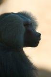 男性狒狒外形 库存图片