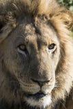 男性狮子纵向 免版税库存照片