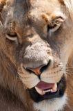 男性狮子表面 库存图片