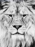 男性狮子面孔 特写镜头画象巨大非洲似猫 黑白图象 库存照片