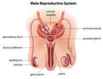 男性生殖系统的解剖学 库存图片
