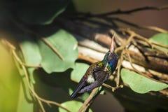 男性白的chinned青玉Hylocharis cyanus,在分支栖息的蜂鸟 图库摄影
