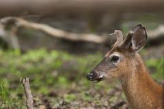 男性白色被盯梢的鹿在环境Forrest里 免版税库存图片
