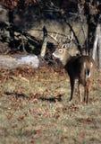 男性白被盯梢的鹿 免版税库存图片
