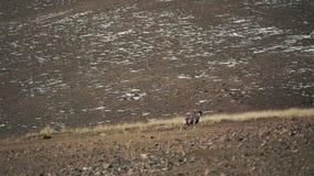 男性盘羊山野生绵羊在山麓小丘 影视素材