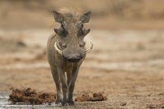 男性看照相机的共同的Warthog 免版税库存照片
