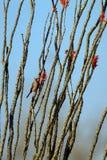 男性红雀在一棵开花的蜡烛木在春天栖息在器官管仙人掌国家历史文物在南亚利桑那 免版税库存照片