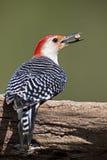 男性红鼓起的啄木鸟(Malenerpes carolinus) 免版税库存照片