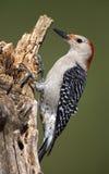 男性红鼓起的啄木鸟(Malenerpes carolinus) 免版税图库摄影