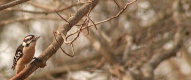 男性红cockaded啄木鸟分支 库存图片
