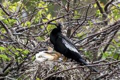 男性美洲蛇鸟和小鸡 图库摄影