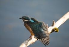 男性翠鸟鸟或翠鸟属atthis 库存照片