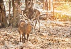 年轻男性肉猪鹿鹿porcinusHyelaphus porcinus 免版税库存图片