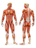 男性肌肉骨骼系统 库存例证