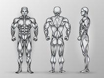 男性肌肉系统、锻炼和肌肉指南解剖学  图库摄影