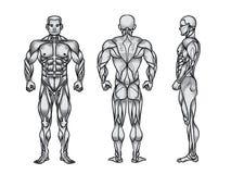男性肌肉系统、锻炼和肌肉指南解剖学  库存照片