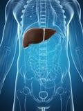 男性肝脏 图库摄影
