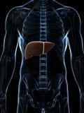 男性肝脏 免版税库存图片