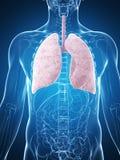 男性肺 免版税库存图片