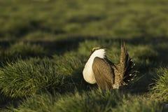 男性艾草榛鸡(Centrocercus urophasianus)在阿尔巴尼亚的货币单位在金黄早晨阳光下跳舞 库存图片