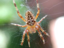 男性花园蜘蛛 免版税图库摄影