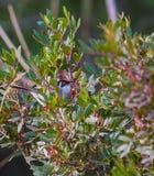 男性莺在灌木掩藏 免版税库存图片