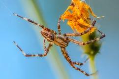 男性蜘蛛araneus 免版税库存照片