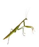 男性螳螂祈祷 免版税库存图片