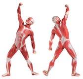 男性解剖学肌肉系统(前面和后面看法) 免版税库存图片