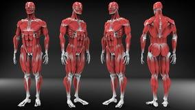 男性解剖学视图 库存图片