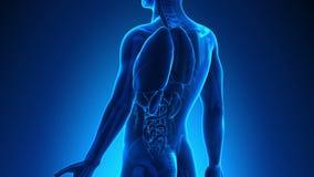 男性解剖学-人的肝脏 向量例证