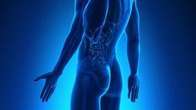 男性解剖学-人的肾脏 皇族释放例证