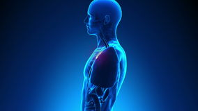 男性解剖学-人的胸腺 皇族释放例证