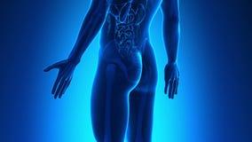 男性解剖学-人的膀胱 库存例证