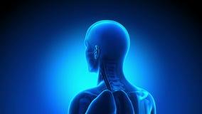 男性解剖学-人脑 向量例证