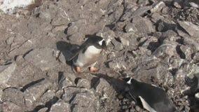 男性运载在位于岩石的巢的一块石头的Gentoo企鹅 股票录像