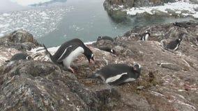 男性运载在巢的一块石头女性坐的Gentoo企鹅 股票视频